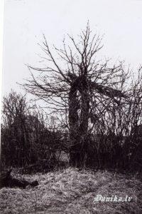 """Pie """"Ziemeļu"""" mājām- koks cietis karā"""